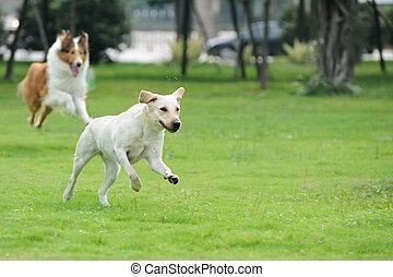 perseguir, dos, perro