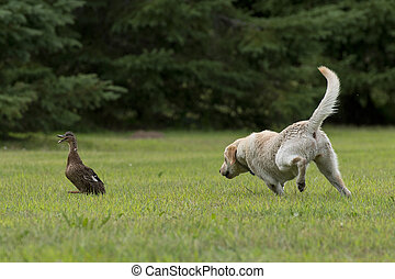 perseguir, perro, dcuk