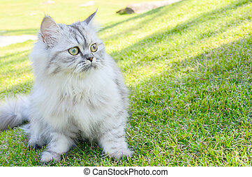 Persia Cat on grass