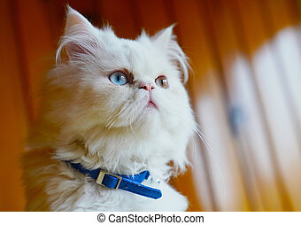 Turkish Angora Mixed With Persian Breed Cat White And Gray Domestic