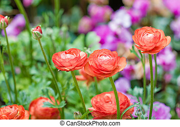 Persian buttercup flowers (ranunculus) - Persian buttercup ...