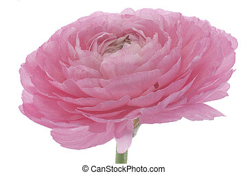 persian buttercup - Studio Shot of Pink Colored Persian ...