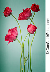 Persian buttercups on a vintage light blue background
