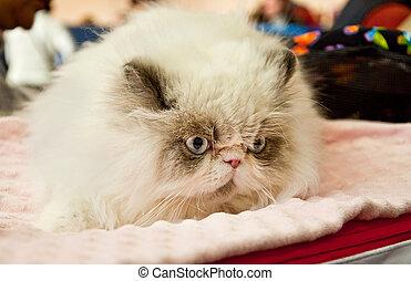 Persian cat at an exhibition - Beautiful Persian cat at the...