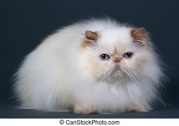 Persian cat breed lying on gray background.