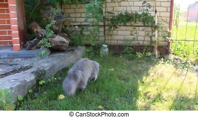 Persian cat catching the mouse on the green grass