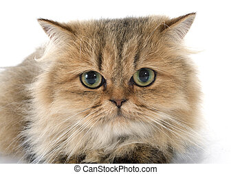 persian cat in front of white background