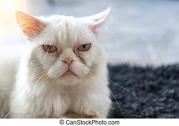 Persian cat lying at home.  Pet concept