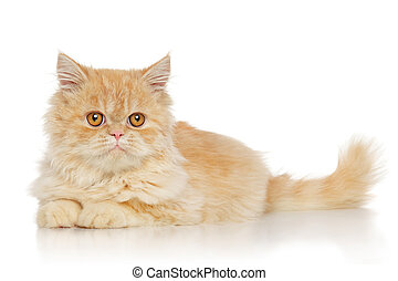 Persian cat lying in front of white background