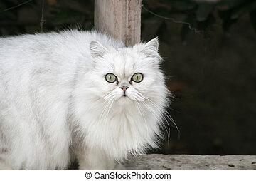 Persian Cat on a Ledge