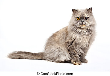 Persian Cat on a white background.