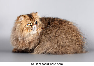 Persian cat on grey background
