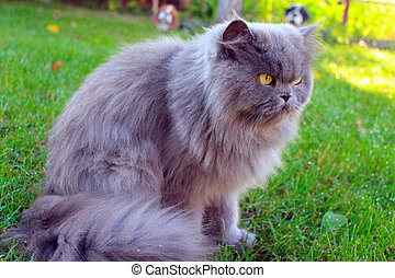 Persian cat on the grass