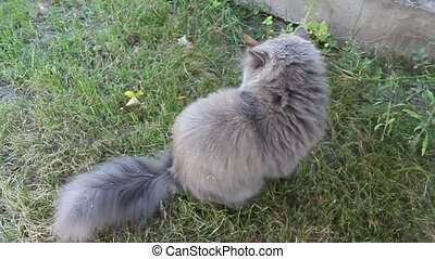 Persian cat sitting on the grass - nice Persian cat sitting...