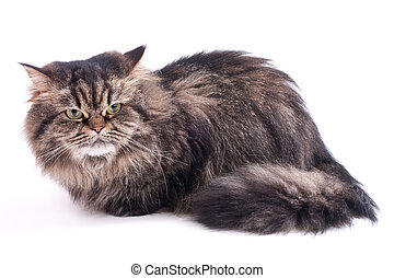 Persian Cat on a white background