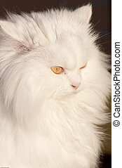 Persian cat - Picture of a white persian cat.