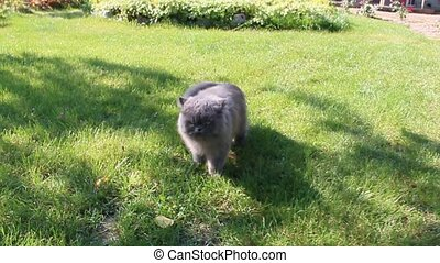 Persian going on the grass - nice Persian cat sitting on the...