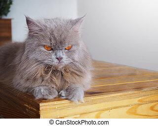 Persian grey cat with orange eyes