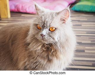 Persian grey cat with orange eyes l