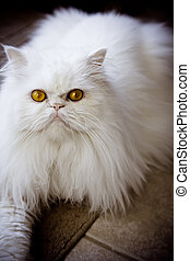 Persian himalayan cat - White persian himalayan cat photo...