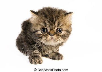 Persian kitten. - Cute little persian kitten on white...