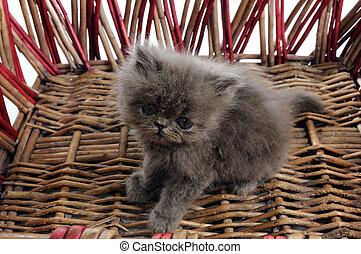 Persian kitten in a basket