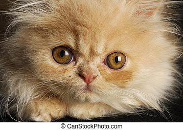persian kitten macro - kitten portrait - cream colored...