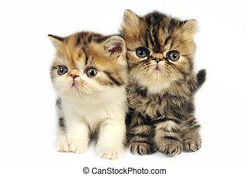 Cute little persian kittens on white background.