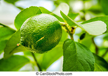 Persian Limes Growing on Tree - Close up of fresh limes...