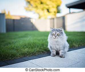 persian longhair cat in the back yard