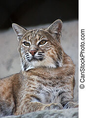 Persian lynx - Persian Lynx (also known as African Lynx or ...