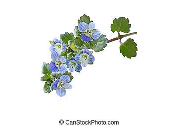 Persian speedwell (Veronica persica) wild flowers