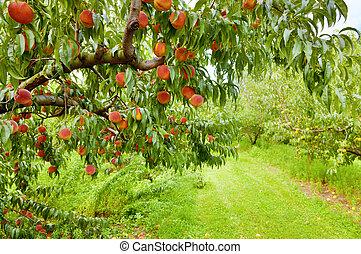 persika, fruktträdgård