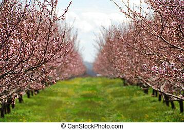 persika, fruktträdgård, blomning