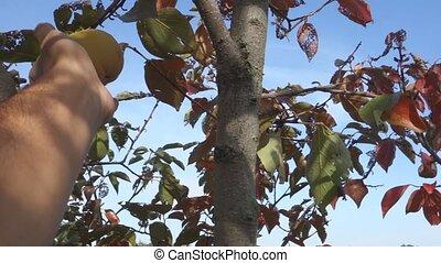 persimmon fruit - harvesting persimmon orange ripe fruits in...