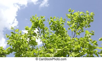 Persimmon green branches - Fresh green persimmon tree...