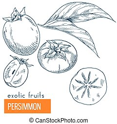 Persimmon. Hand drawn vector illustration