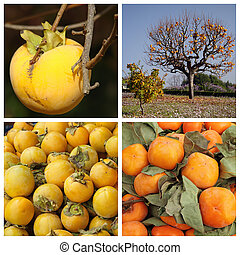 persimmon plant collage  ( growing tree with  fruits and harvest