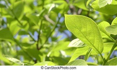 Persimmon tree green leaf - Fresh green persimmon tree leaf...