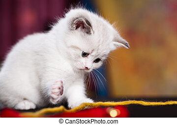 persisch, katzenkinder