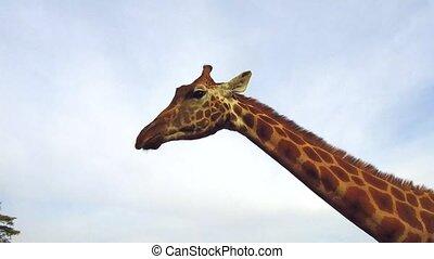 person feeding giraffe showing tongue in africa - animal,...