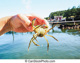 Person holding an alive crab in front of a beach and green water