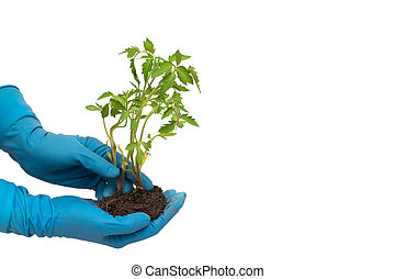 Person in blue gloves holds tomato plant with soil isolated on white background