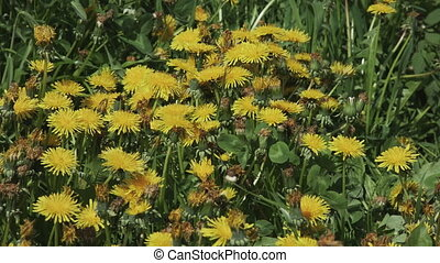 Person picking a bouquet of yellow dandelions. Dandelion flowers close-up