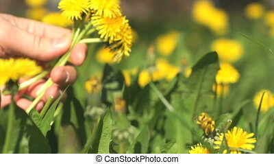 Person picking a bouquet of yellow dandelions