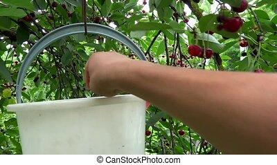 person picking cherries