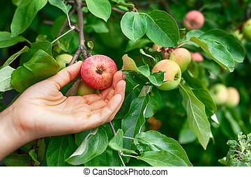 Person picking ripe apples