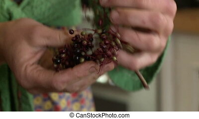 Handheld, close up shot of a person plucking elderberries from the vine.