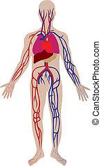 person, vektor, system, blod