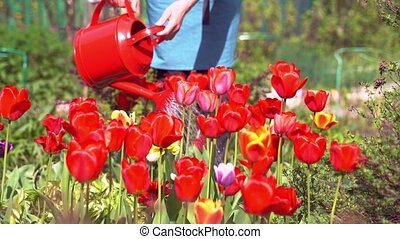 person waters blooming tulips with red watering can closeup...